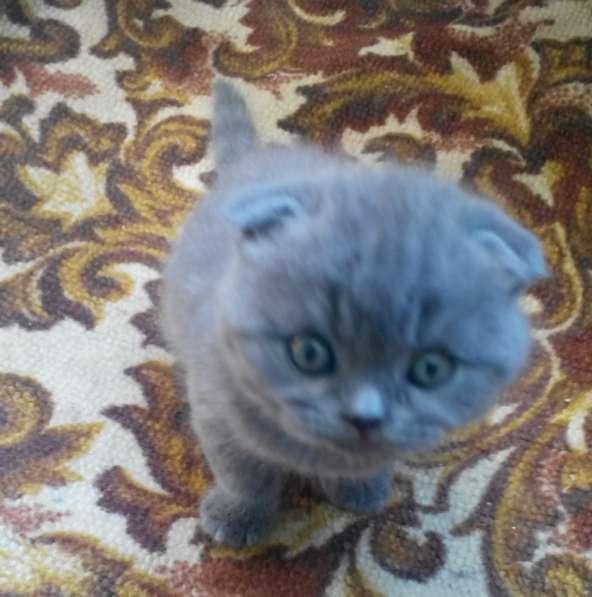 Продам чистокровных плюшевых шотландских котят