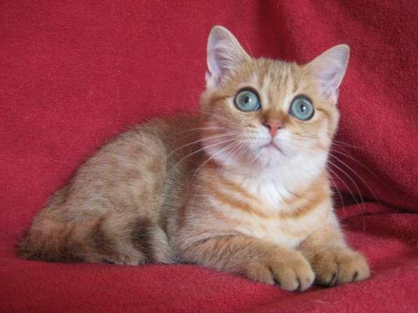 Золотой пятнистый котик Viking из питомника