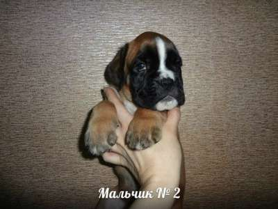 Немецкого боксера щенки с родословной
