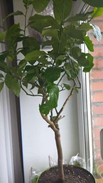 Лимон Павлова дерево 6 лет