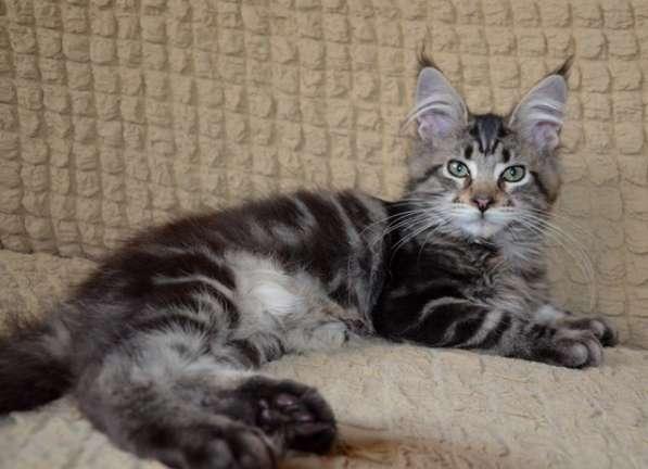 Породистые котята в Кисловодске фото 6