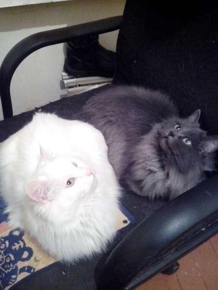 Белую кошку в хорошую семью на время