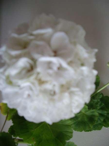 Герань белая махровая