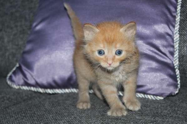 Котята,1.5мес в добрые руки (львёнок, тигренок и плюшка)- в Калуге фото 4