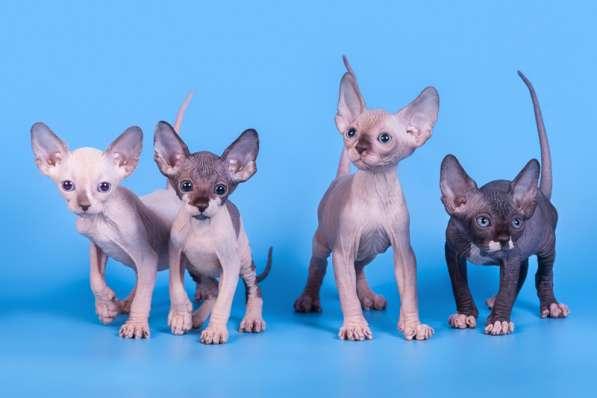 Бархатный котёнок с душой Эльф, Двэльф, бамбино или сфинкс в фото 4