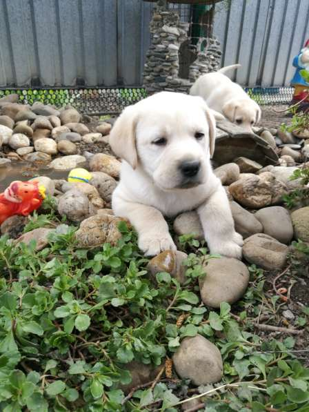 Великолепные щенки лабрадора в Ростове-на-Дону фото 5