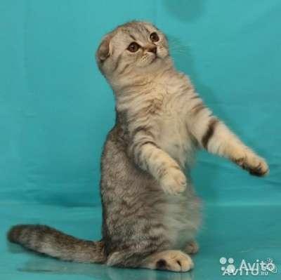Кошечка - скоттиш фолд