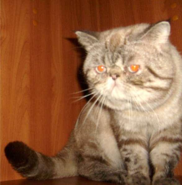 Котик-Экзотик приглашает на вязку. Чемпион