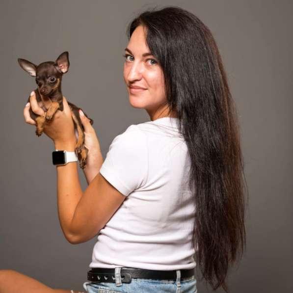 Русский той терьер щенки израиль питомник в фото 3
