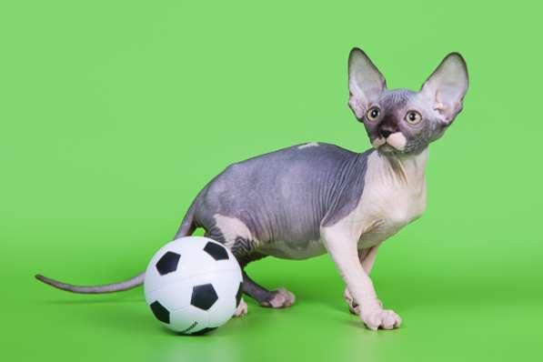 Котёнок сфинкс - маленький талисман. в Екатеринбурге фото 6