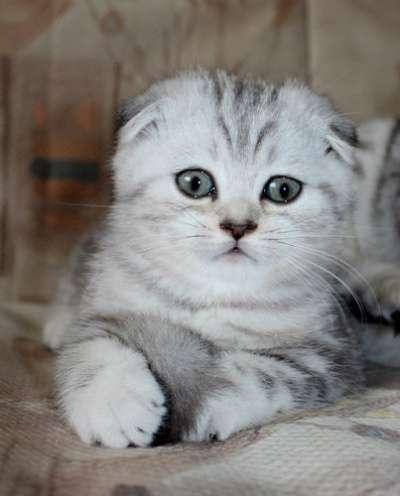 Шотландские котята, британцы, хайленды