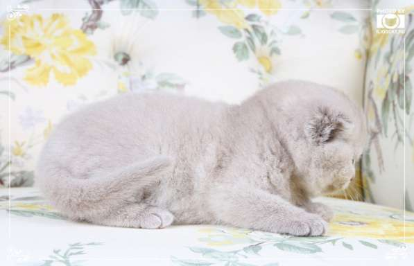 Британские котята фавн и лиловые в Москве