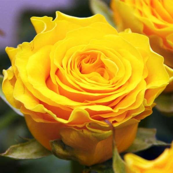 Срез для букетов (розы) в Ростове-на-Дону фото 9