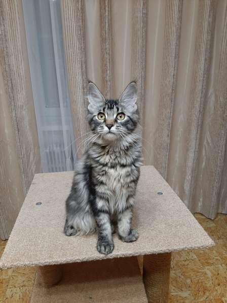 Котята Мейн-кун мальчики и девочки в фото 5