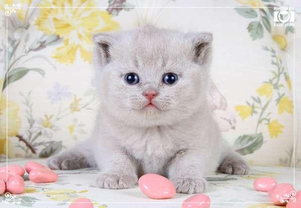 Британские котята фавн и лиловые