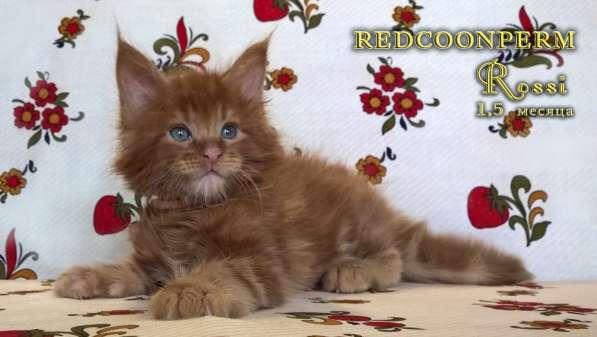 Котенок мейн кун красный солид. Шоу класс в Перми фото 4