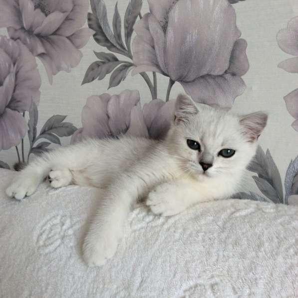 Британский клубный котенок мальчик Центавр