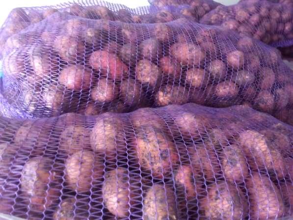 Картофель свежий 2016