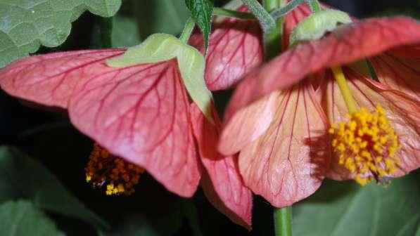 Абутилон цветущий