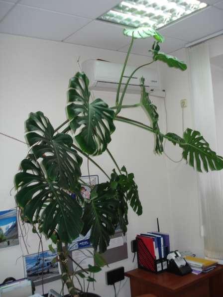 Продаю большую монстеру, 3 метра ! Денежное дерево -12 лет!