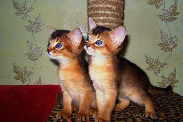 Абиссинские котята родились 25.06.2016, мальчик и девочка