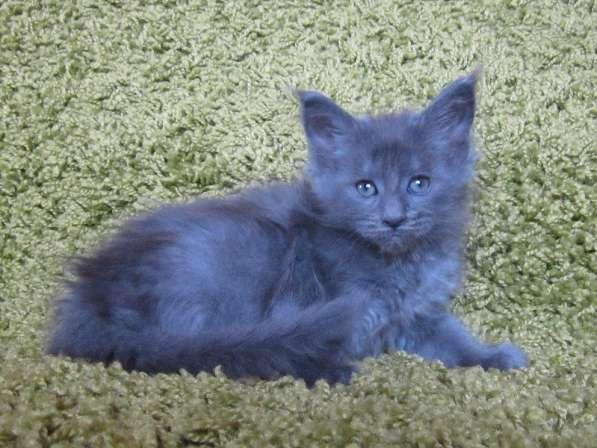 Котята мейн-кун в Уфе фото 5