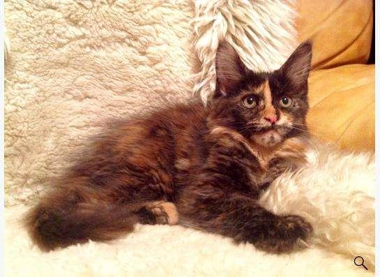 котята Мейн Кун в Екатеринбурге фото 6