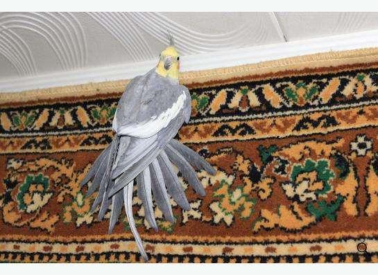 Попугай Корелла самец в Подольске фото 3