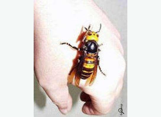 Шершни осы уничтожить травить вывести томск