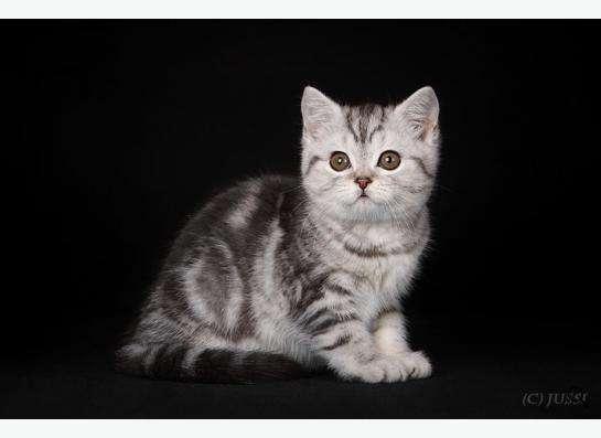 Плюшевые Шотландские котята !!! в Краснодаре фото 3
