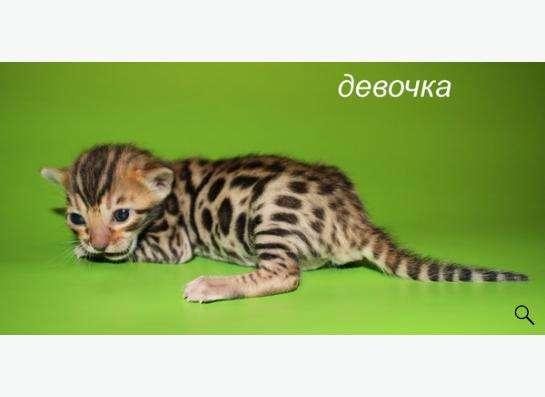 Элитные бенгальские котята в Уфе