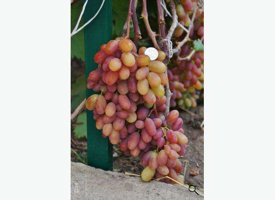 Саженцы элитных сортов неукрывного винограда в Ульяновске фото 3