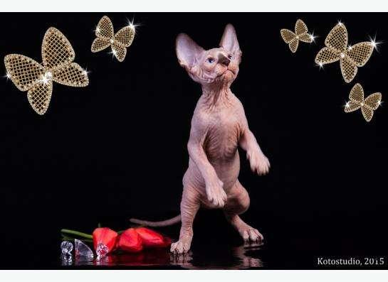 Котята породы канадский сфинкс