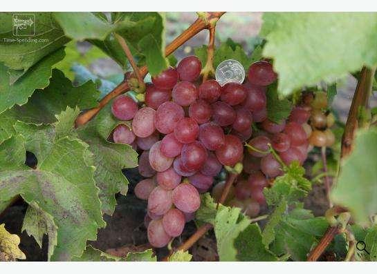 Саженцы элитных сортов неукрывного винограда в Ульяновске