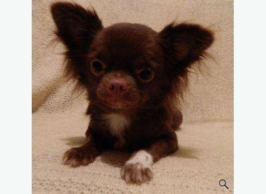 Продам чихуахуа подрощенный щенок-кобель