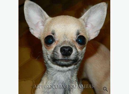 Ди Джей, подрощенный щенок чихуахуа