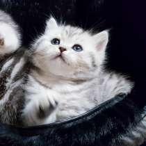 Шотландские котята с документами, в г.Минск