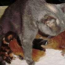 Разноцветные британские котята, в Краснодаре