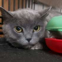 Британская кошка Кристи ищет надежных хозяев, в г.Москва