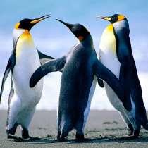 Отдам 3х пингинов бесплатно, в Череповце