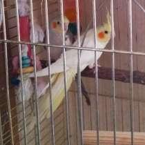 Птенцы попугая кореллы, для обучения, в Москве