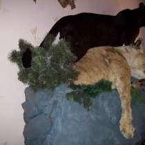 Черный ягуар поверг львицу на скале, в Омске