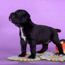 Замечательные породные щенки Кане-Корсо, в Мурманске