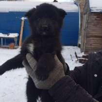 Отдам 2 щенков в хорошие руки, в Красноярске