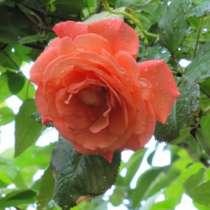 Плетистые розы, в г.Краснодар