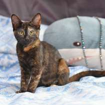 Черепаховое чудо Асенька, ласковый домашний котенок в дар, в г.Москва