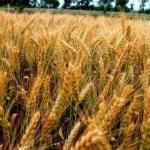 Семена Пшеницы, подсолнух, Бобовые, Ячмень Пшеница Горох КФХ, в Волгограде