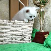 Британские серебристые котята, в Москве