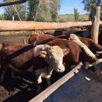 Бычки мясных пород, в Челябинске