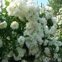 Саженцы роз, в Краснодаре